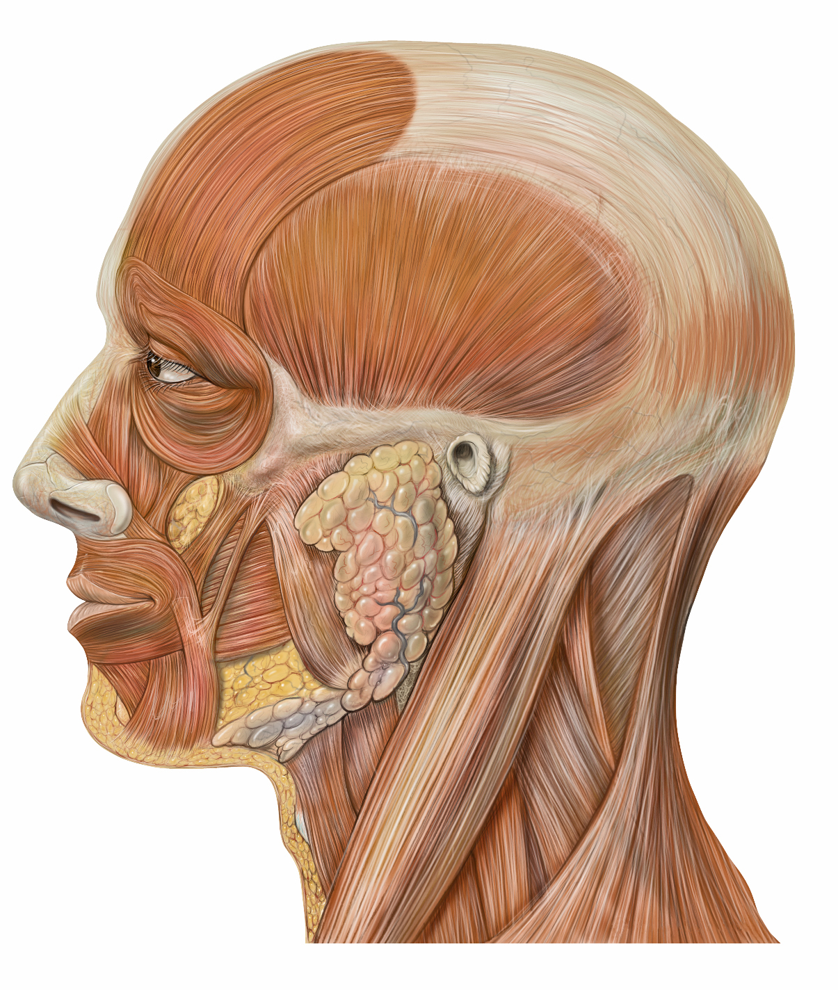 Anatomy of head face and neck